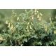 Astragalus 300ml