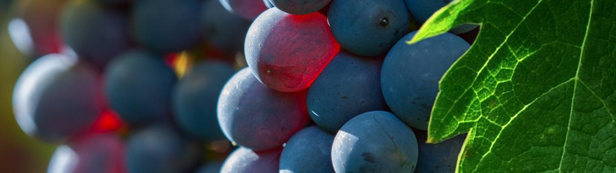 La saison du raisin !