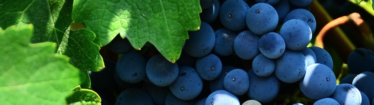 C'est la saison du raisin !